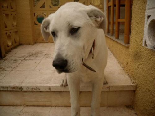 Spandy-Perros-en-adopcion-Yecla-lulo-1