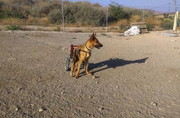 Spandy-Perros-en-adopcion-Yecla-simon-3