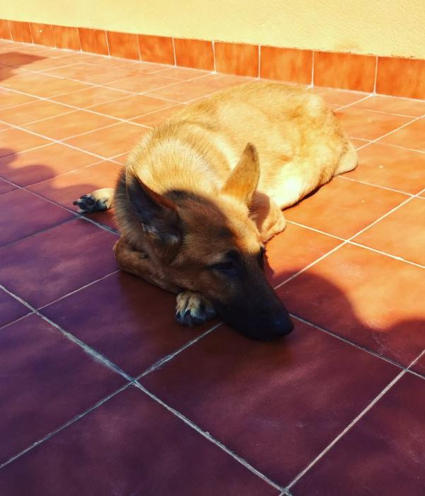 Spandy-Perros-en-adopcion-Yecla-simon-7